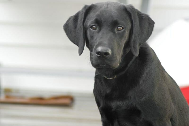 Why Is My Labrador Underweight?