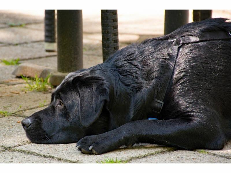 The Ideal Labrador Retriever Weight