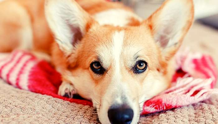 What Impacts the Cost of a Corgi?