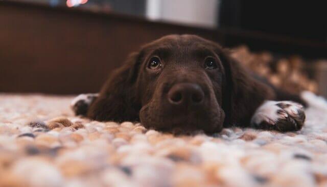 How to Potty Train a Labrador Puppy Decide Where Your Labrador Puppy Will Go