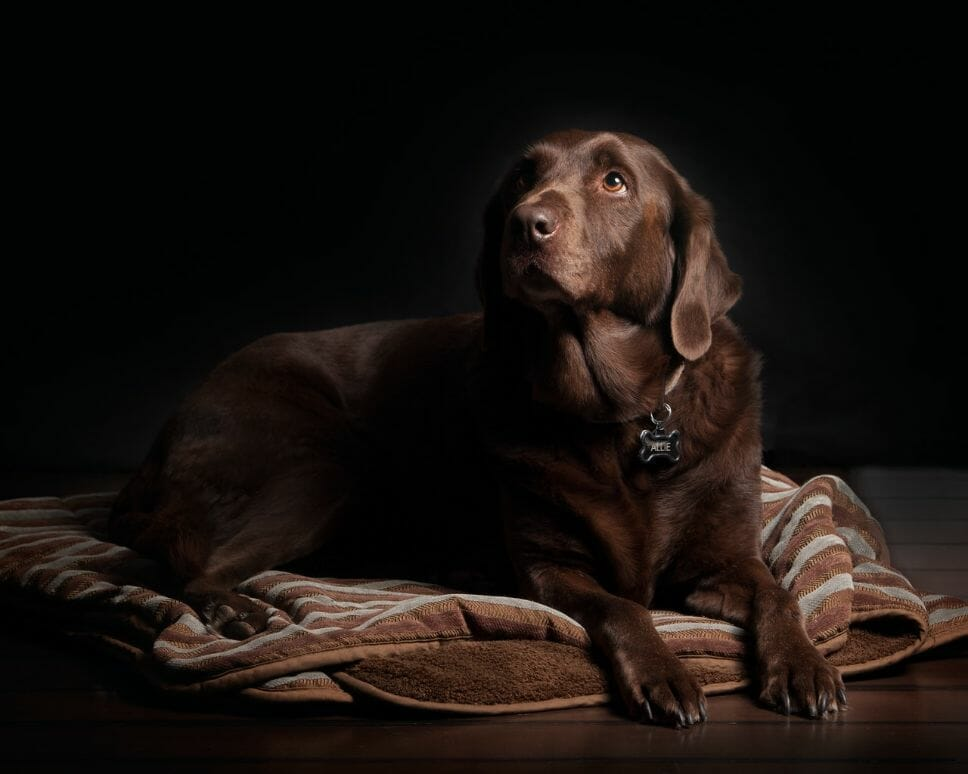 Why Is My Labrador Underweight? It could be worms