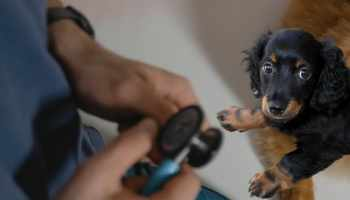 How to Increase a Dachshund's Lifespan Preventative Measures