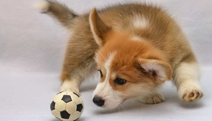 How Much Food Do I Give My Corgi Puppy?