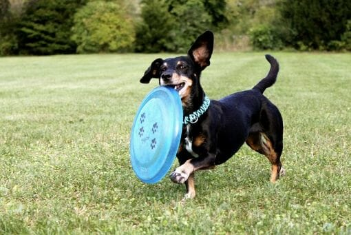 What is a Healthy Weight for Dachshunds?