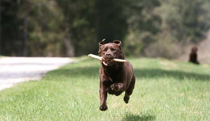 How Fast Can a Labrador Run