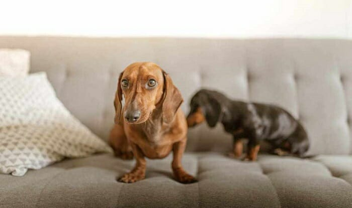 How to Increase a Dachshund's Lifespan Count the Calories