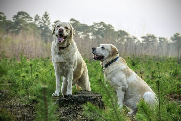 Why Is My Labrador Overweight?