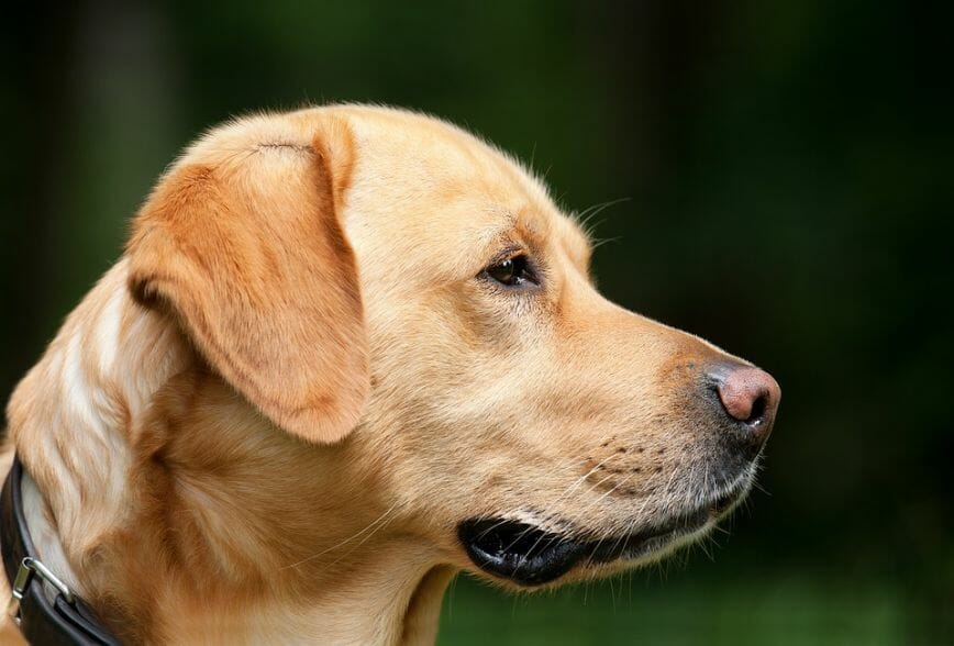How Much Does a Labrador Weigh Average Labrador Weight