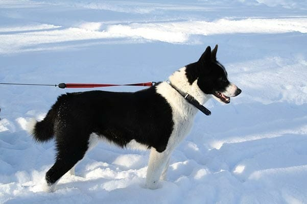 What About Karelian Bear Dogs?