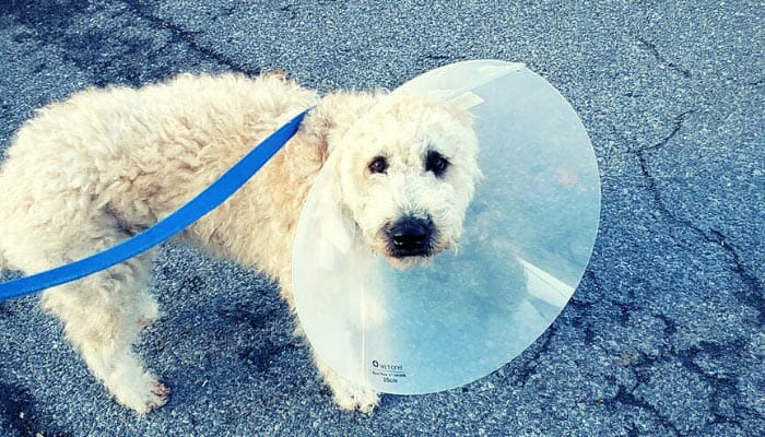 How Long Does A Male Dog Have To Wear The Cone After Neutering?