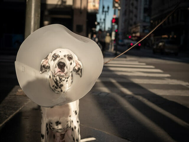 How To Help Your Dog Rehabilitate When It Is Wearing A Cone?