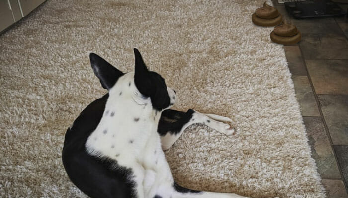 How To Get Dog Poop Out Of Carpet?