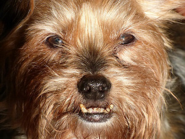 Why Do Dogs Chatter Their Teeth? To Remain Calm