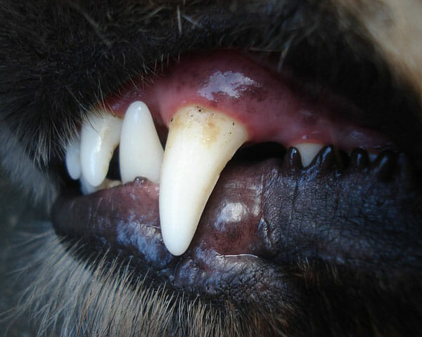Why Do Dogs Chatter Their Teeth? Dental Problems