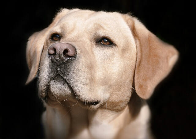 Why Does A Dog's Nose Change Color? Discoid Lupus