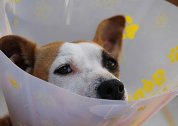 Why Do Dogs Chatter Their Teeth? Pain
