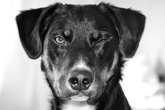 Can You Train Your Dog To Wink?