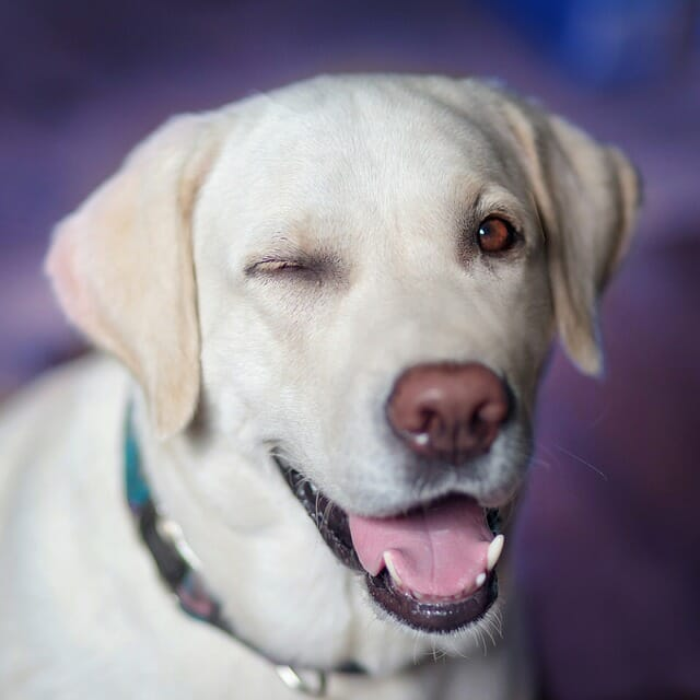 Why Dogs Wink