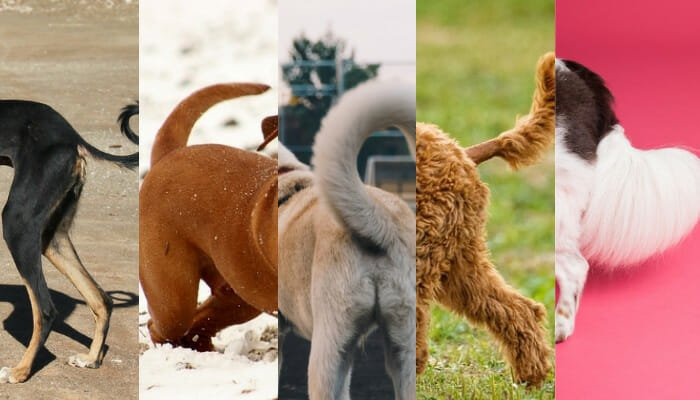 Dog Tail Positions Meaning