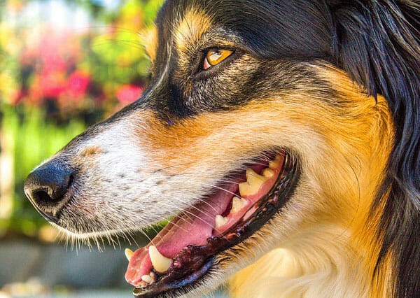 Why Do Dogs Chatter Their Teeth? Smelling New Scents