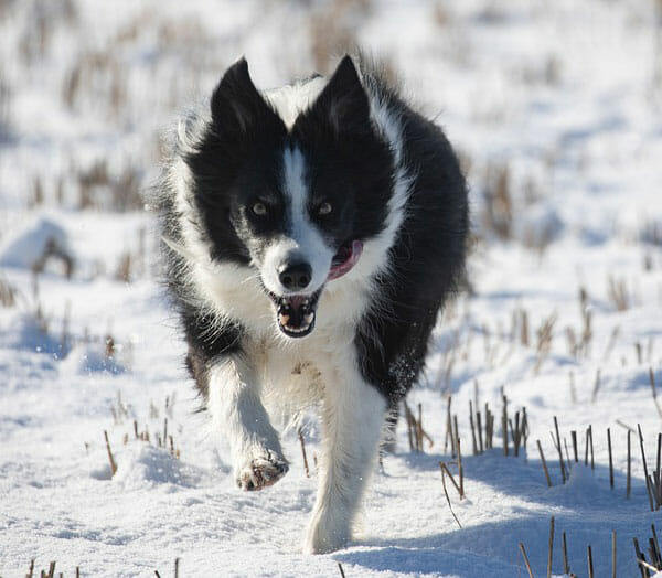 Why Do Dogs Chatter Their Teeth? Low Body Temperature