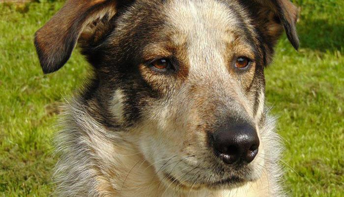 Carpathian Shepherd