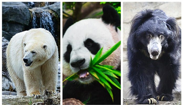 Animals Related To Bears