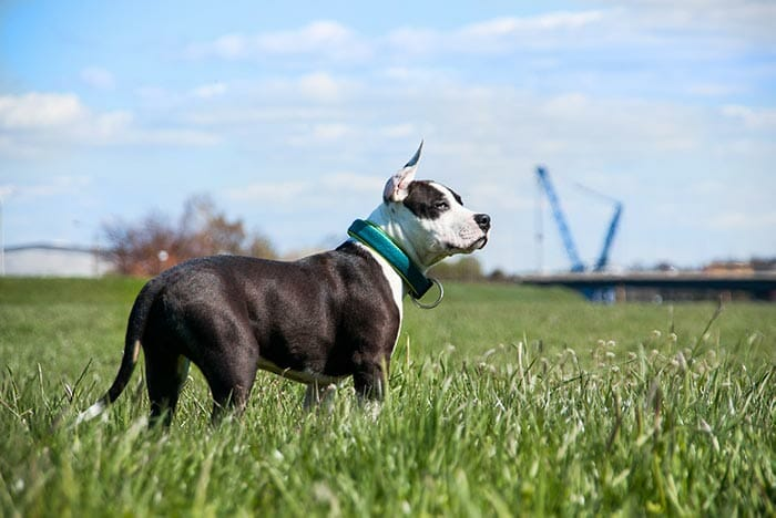 The American Staffordshire