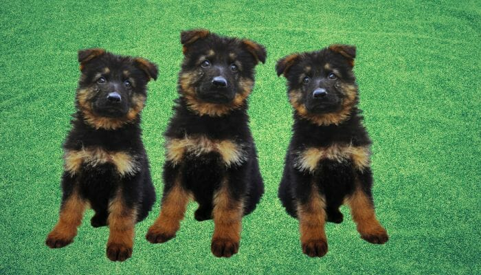 What to Avoid When Buying a German Shepherd Puppy