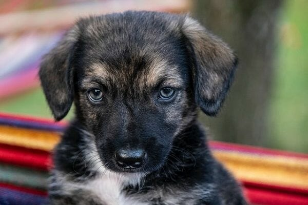 Why Are German Shepherd Puppies so Expensive?