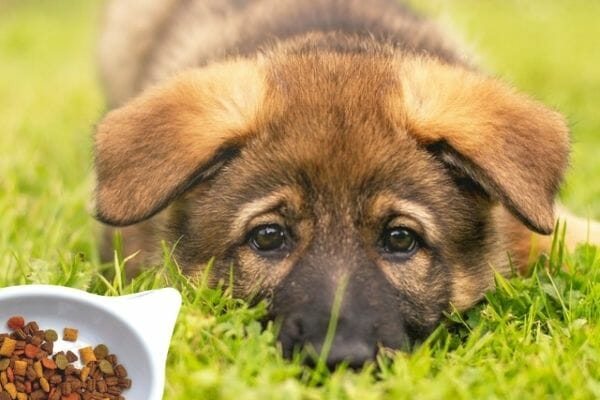 What Should I Feed My German Shepherd Puppy?