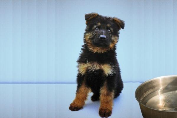How Do I Feed My German Shepherd Puppy?