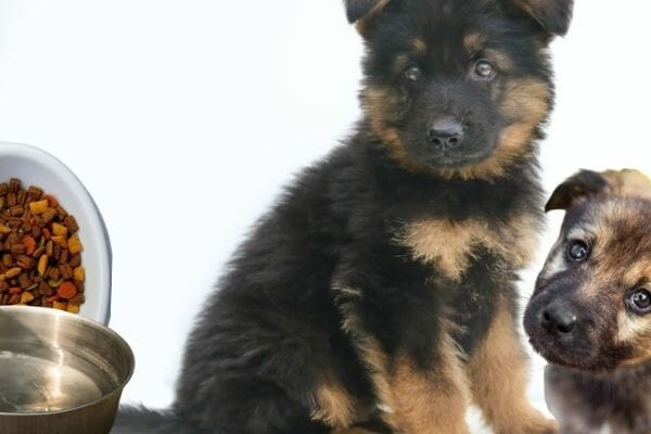 What Not to Do When Feeding a German Shepherd Puppy