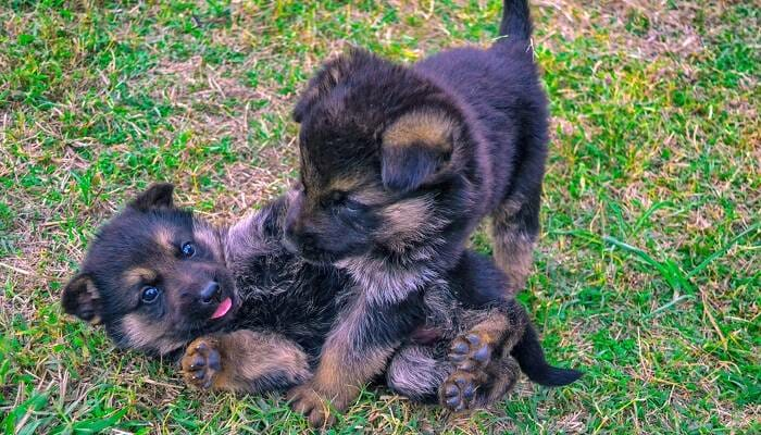 Exactly How Many Puppies Can a German Shepherd Have at Once?